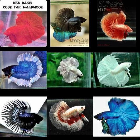 Irel Aquarium: JENIS-JENIS CUPANG
