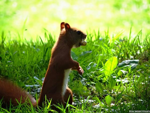 Wiewiórka, park skaryszewski, lato, orzech, 2016, ładne, piękne