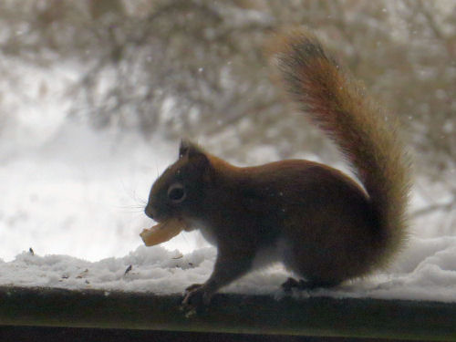 red squirrel eating piecrust