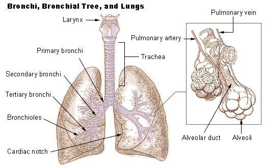 Human lungs showing the different parts