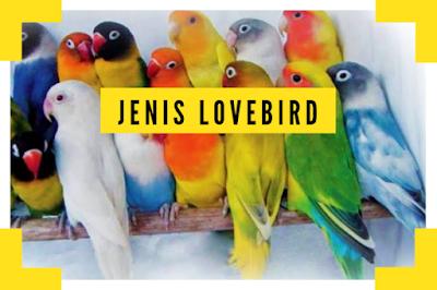 Jenis Burung Lovebird