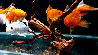 Goldfish Community Aquarium Wallpaper