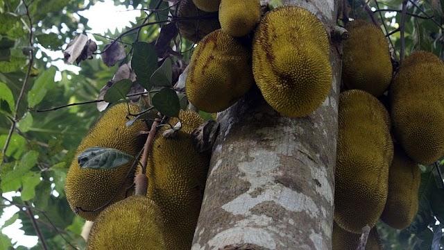 jackfruit boost immunity against Corona virus । कटहल कोरोना वायरस के खिलाफ प्रतिरोधक क्षमता को बढ़ाता है