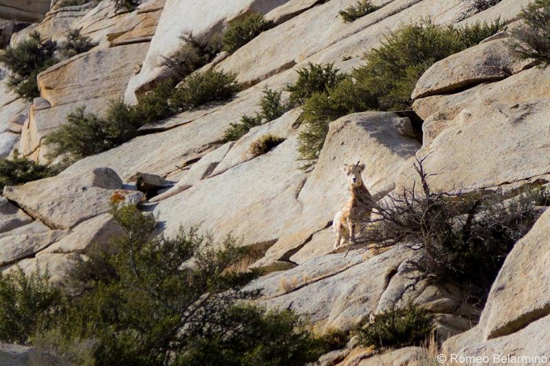 Bighorn Sheep Things to Do in Bishop California