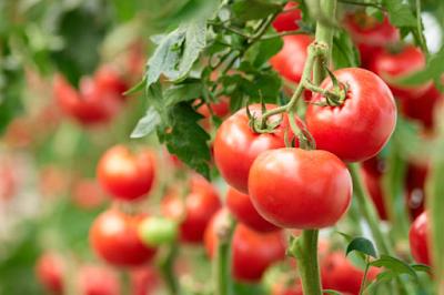 7 Manfaat Kebugaran Tomat