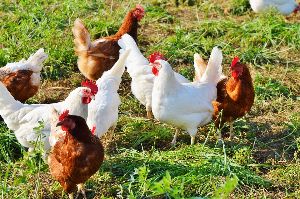 Poultry Farm Project for 1000 Birds ~ Poultry Farming India