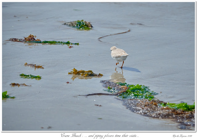 Crane Beach: ... and Piping Plovers time their visits...