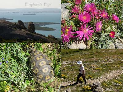 Saldanha ships, vygie  angulate tortoise