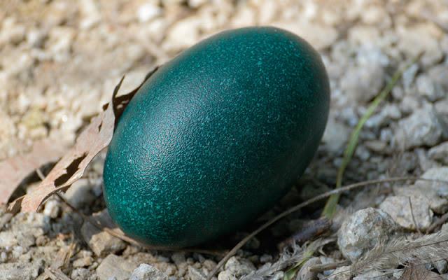 شكل بيضة طائر الإيمو النعام الاسترالي