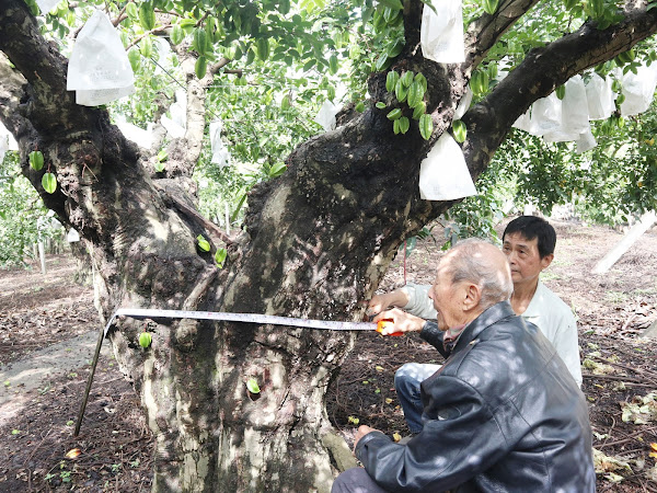 清朝百年楊桃樹 員林市公所預購推廣楊桃