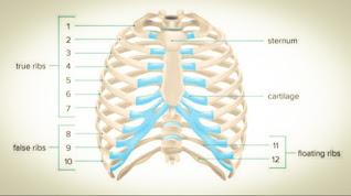 Skeleton System Human