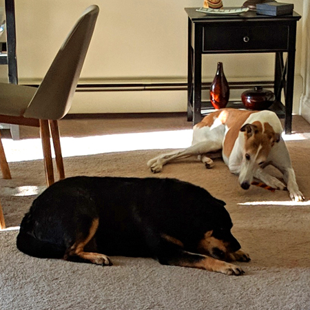 image of Zelda the Black and Tan Mutt and Dudley the Greyhound lying on the dining room floor, munching on doggy chews