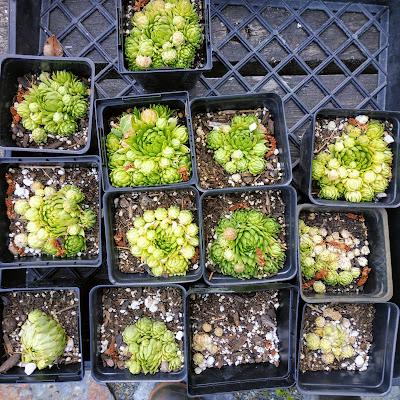 succulents, sedums