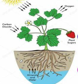 أين تخزن النباتات طعامها؟