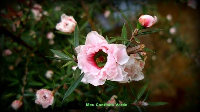parece rosas em miniatura