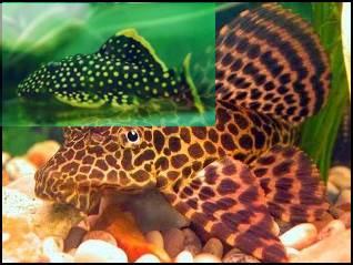 Ikan Hias Air Tawar Sapu-sapu
