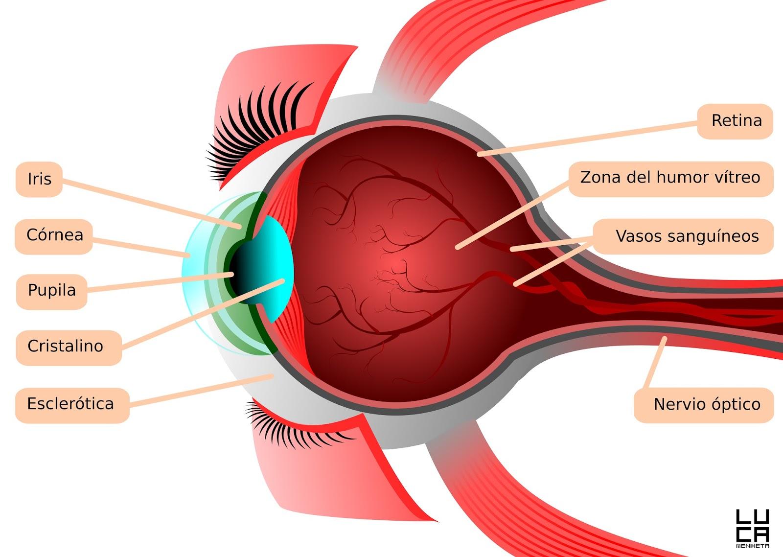 Disección del Ojo | Anatomia Aplicada. Nerea Pons