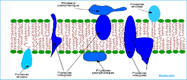 Protéines transmembranaires