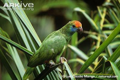 endangered amazon