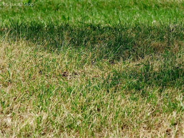 zasychający trawnik