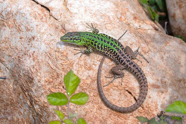 Podarcis siculus campestris - Italian Wall Lizard