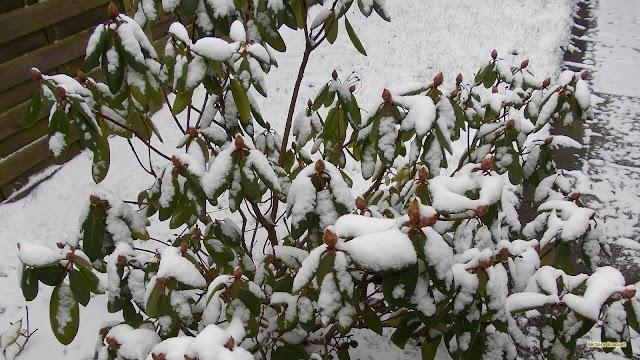 Rhododendron bedekt met sneeuw