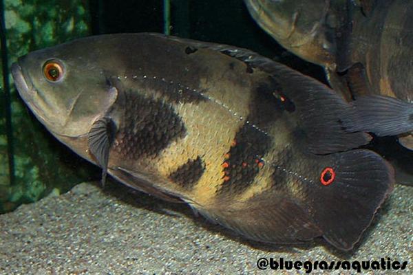 Gambar Ikan Oscar Wild