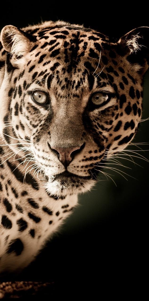 A leopard portrait.