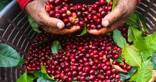 Giá cà phê hôm nay 24/4: Tăng thêm 100 – 200 đồng/kg