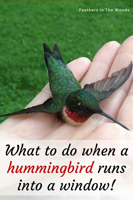 A ruby-throated hummingbird in hand after flying into a window.