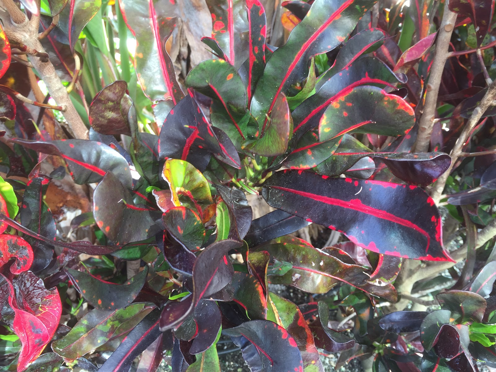 dark croton leaves