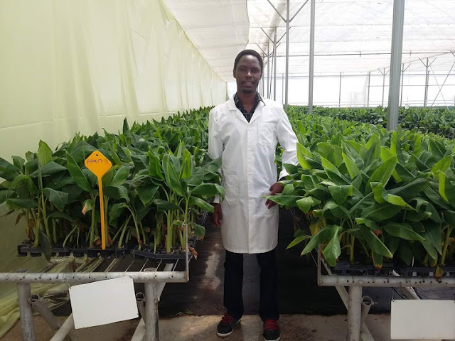 tissue culture banana seedlings for sale at richfarm kenya