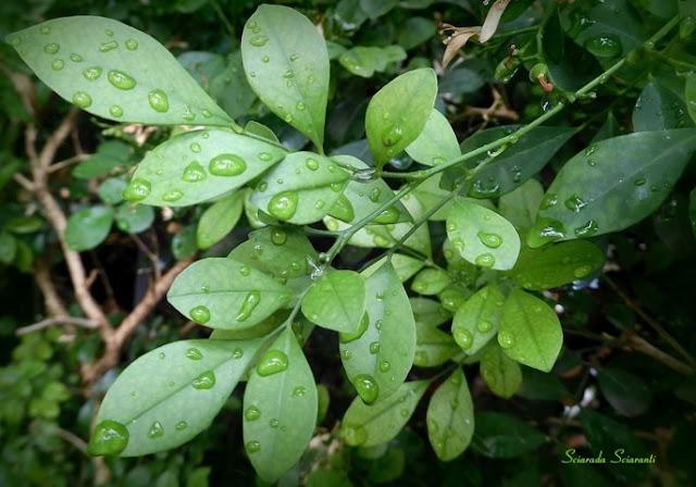 Foglie di Abelia con gocce di pioggia