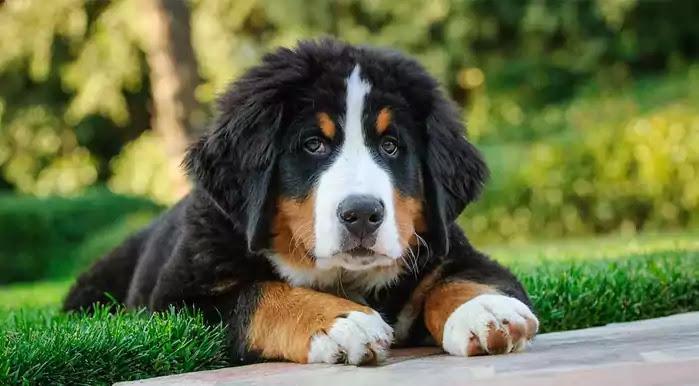 Bernese Mountain Dog Dog Breed