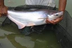 Sekilas Budidaya Ikan Patin
