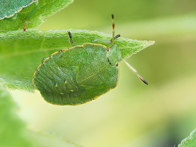 Larve der Grünen Stinkwanze (Palomena prasina)