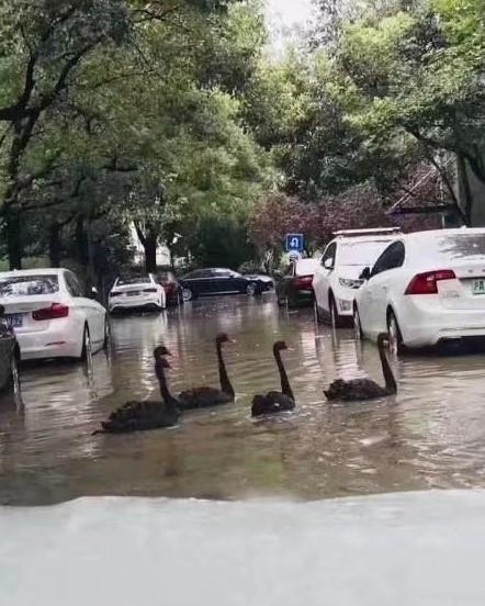 水で溢れかえった道路を黒鳥が仲良く横断している