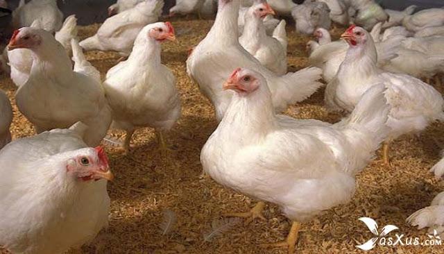 7 Cara Ternak Ayam Potong Bagi Pemula Agar Cepat Panen