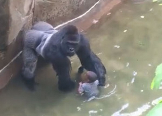 Cincinnati Zoo Video Shows Harambe The Gorilla HOLDING HANDS With The Boy--Gorilla Shot To Death