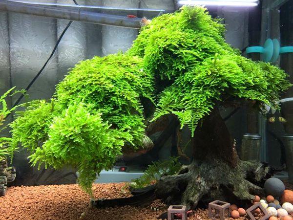 cây bon sai thủy sinh dùng rêu mini taiwan