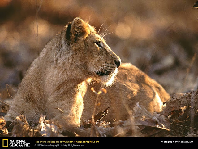 Asiatic Lions at Sasan Gir National Park