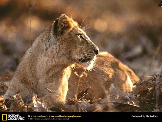 Asiatic Lions at Sasan Gir National Park