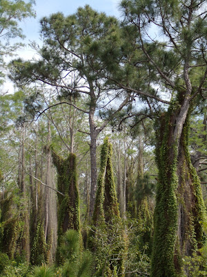 Climbing Ferns trepando por los árboles