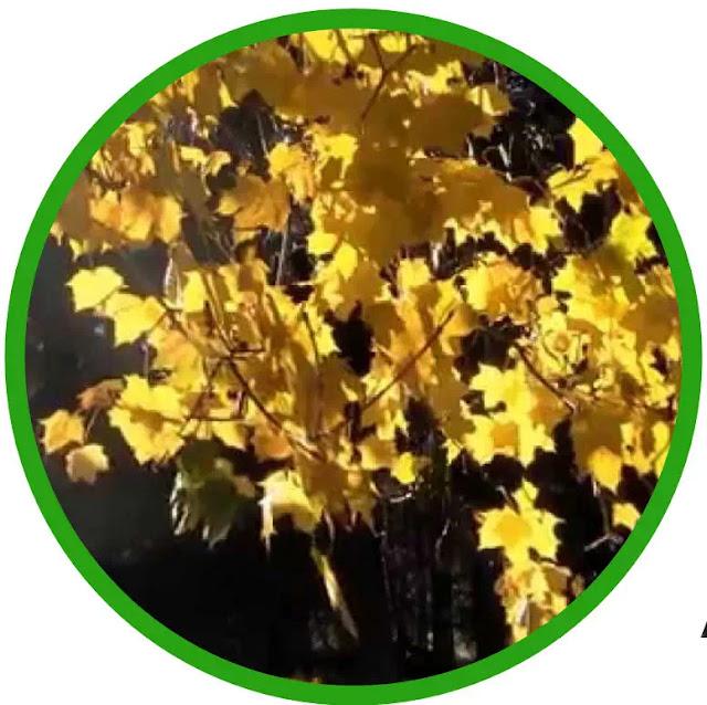 Meskipun penunjang pertumbuhan oleh auksin dan giberelin telah cukup ditunjukkan semenjak tahun 1940-an, ahli fisiologi tanaman mulai curiga bahwa sesuatu yang diproduksi oleh tanaman dapat memiliki efek berlawanan (penghambatan). Pada tahun 1949, Torsten Hemberg, seorang ahli botani Swedia, menunjukkan bahwa zat-zat yang diproduksi pada tunas yang tidak aktif (mis. Tunas yang perkembangannya ditangkap sementara) memblokir efek auksin.