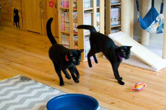 running black cats