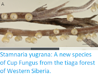http://sciencythoughts.blogspot.co.uk/2018/05/stamnaria-yugrana-new-species-of-cup.html