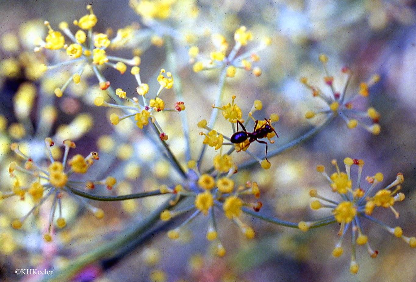 A Wandering Botanist: Plant Confusion--Hemlock, Both ...