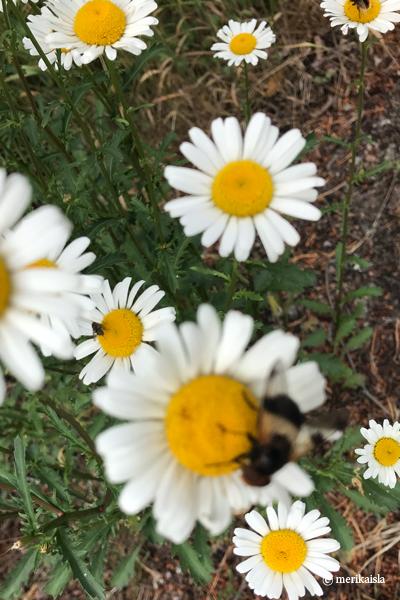 Keltavalkoinen kukka, niittykukka, ojanpiennar