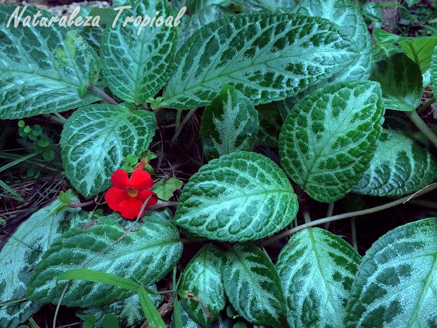 Episcia de flores rojas
