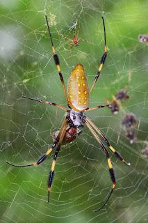 Golden Orb-weaver Spider in Costa Rica